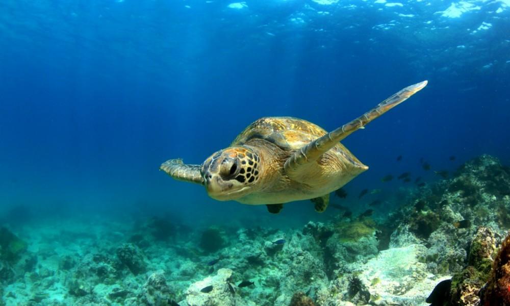 Carambola Real Estate - swimming turtle - sm